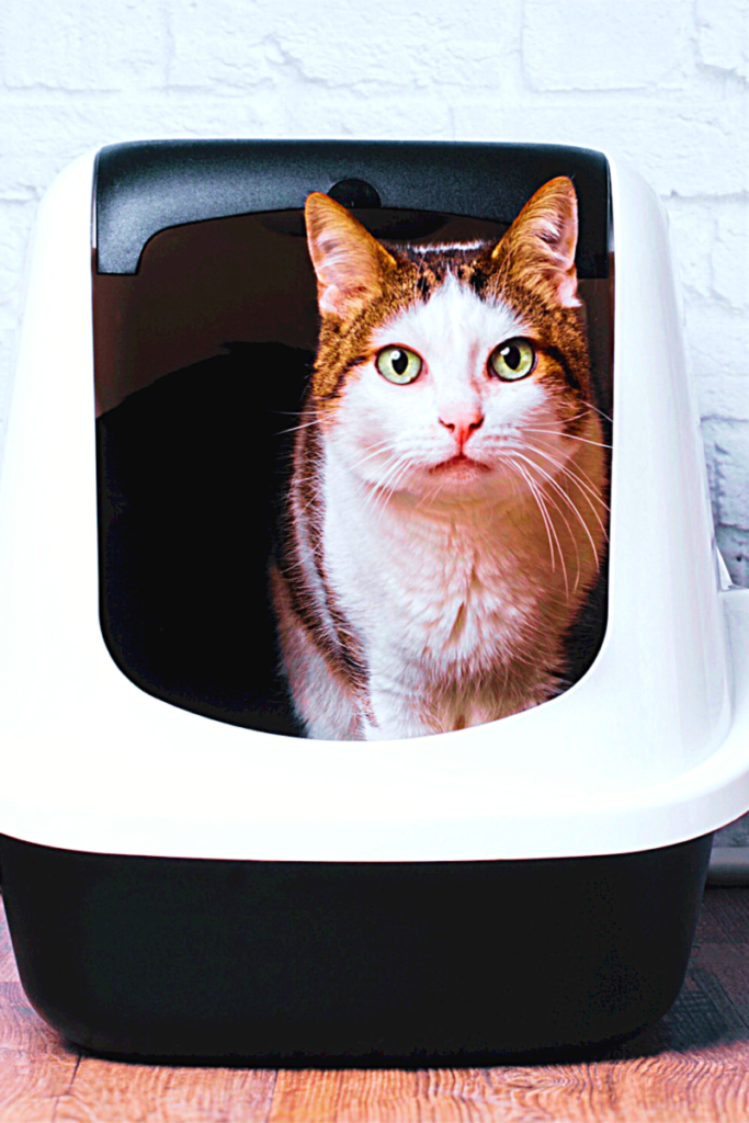 les risques de contamination de la toxoplasmose avec un chat